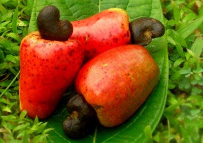 Cashew Export: NCAN To Launch 8% Cashew Moisture Protocol