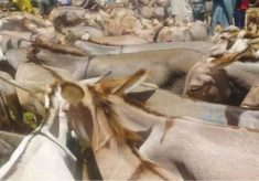 Rise, fall of donkey business in Sokoto