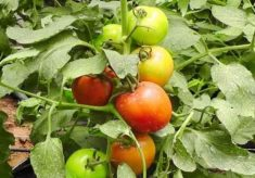 How FUTA's new tomato variety will boost farmers' income
