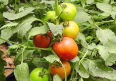 How FUTA's new tomato variety will boost farmers' income