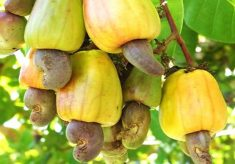 'Nigeria earned N144.7bn from cashew exports in 2017'