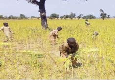 High demand for beniseed as Benue farmers begin harvest