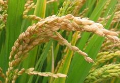 Bauchi to produce 8,000 metric tonnes of wheat