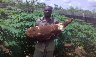 30kg-cassava-production