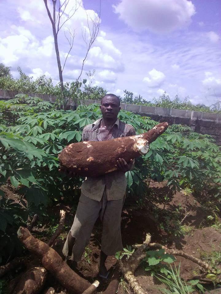 30kg-cassava-production