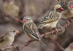 Combating menace of Quelea Birds