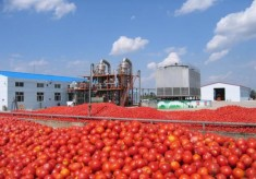 Tomato Paste: Processor Appeals For Forex To Import Heat-Resistant Seedlings