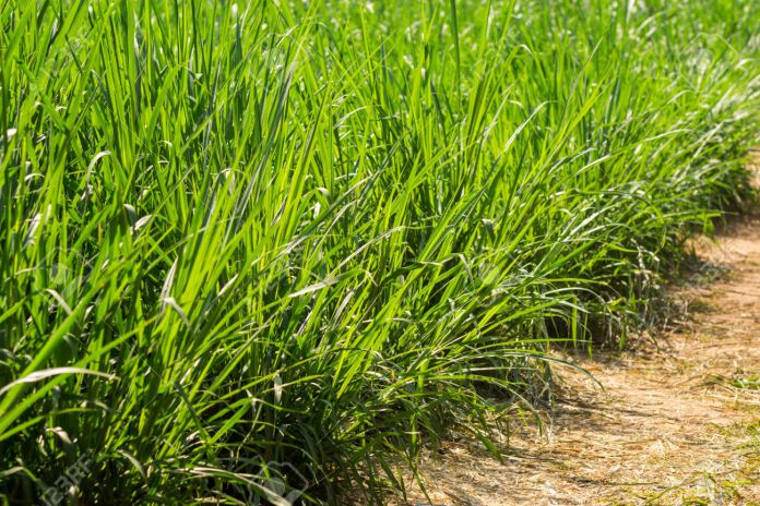 How To Plant Napier Grass For Your Dairy Cows