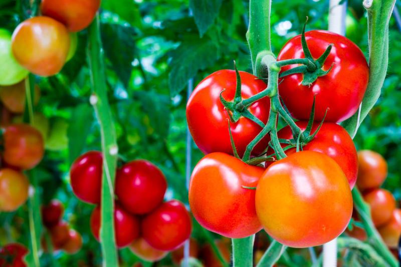 Organic-tomato