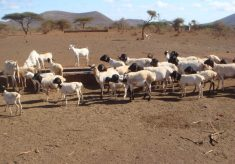 4 tips on sheep farming during dry seasons
