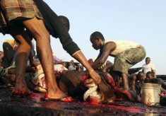 Osun Govt Imposes N700 Levy on Each Slaughtered Cow.
