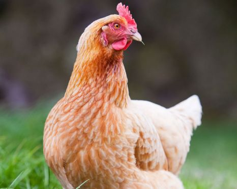 How to Protect Local Chickens from 'Harmattan Disease'