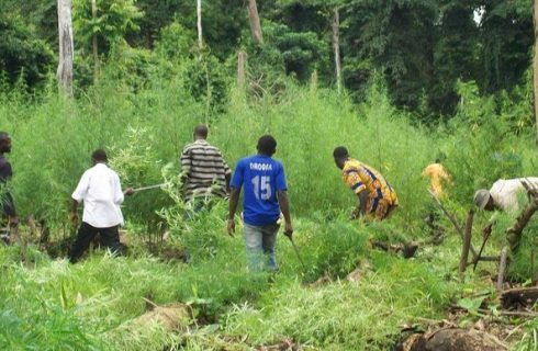Ondo cannabis passion devastating forest