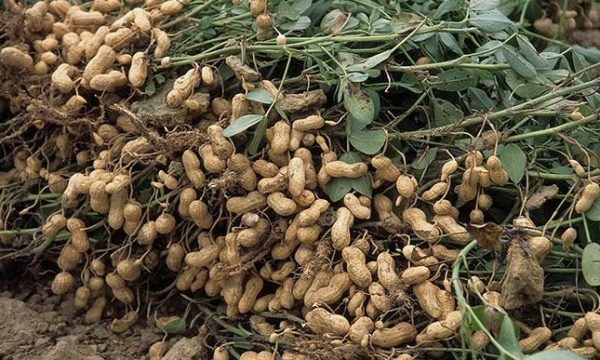 We are in tough time, Sokoto groundnut farmers cry out