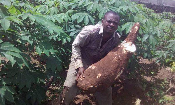 Nigeria Man Harvest 30kg Cassava Tuber