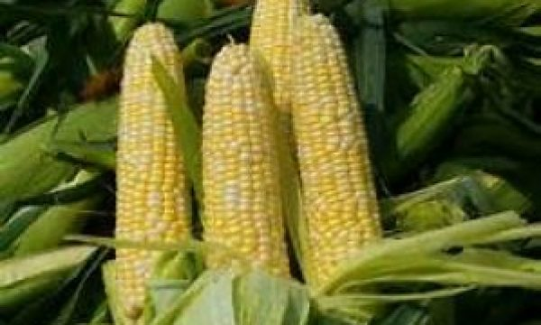 Maslaha to release maize seed yielding 9 tonnes per hectare