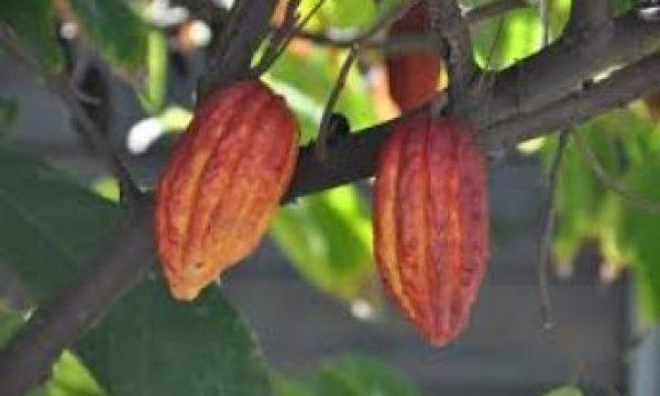 Growth performance of pigs on dietary cocoa bean shell meal