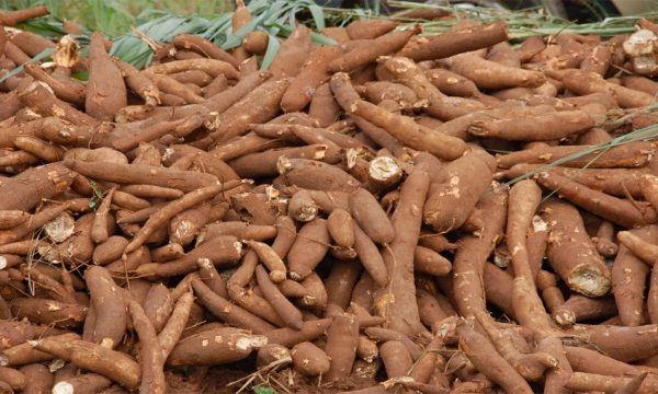 Agency raises alarm over two emerging cassava diseases