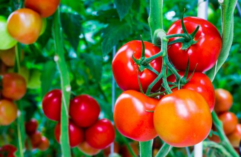 Local Tomatoes Wasting As N11.7bn is Spent On Importation Annually