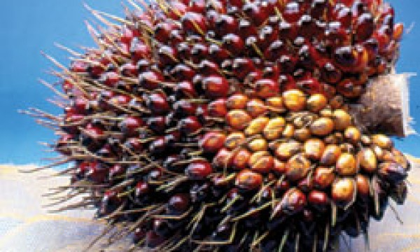 Palm Oil hits six-week High Amidst Low production, Closes Gap with Soyoil