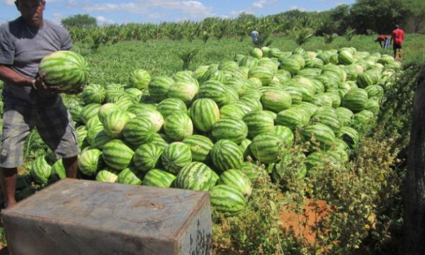 Easy guide to farming watermelons in Kenya