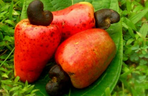 Cashew Export: NCAN To Launch 8% Cashew Moisture Protocol