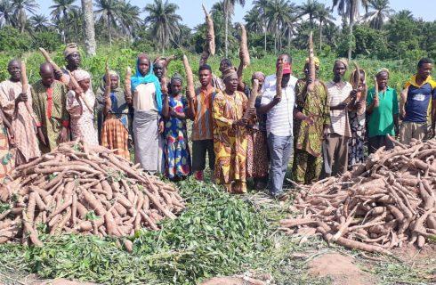 Prices of cassava stems reduce 67%