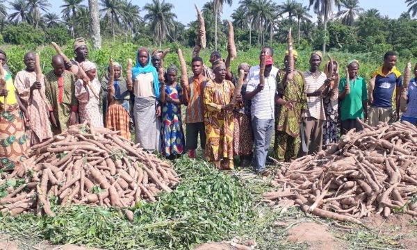 Prices of cassava stems reduce 67%