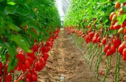 GEMS4: Tomato imports hit $360m annually