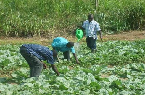 On-farm Demonstration: Improved Weed Control Help Nigerian Farmers Record 27tons/ha