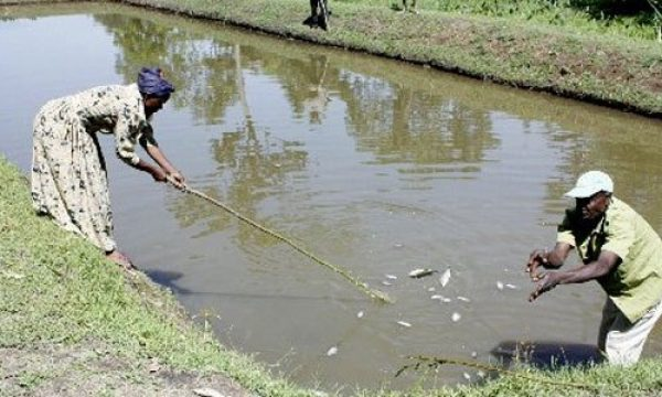 This Is all it takes to start pond with 2,500 fish in Kenya today