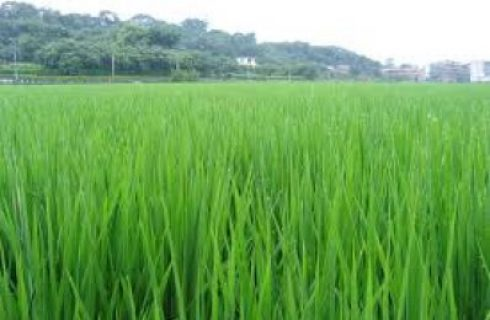 458 hectares of rice farmland submerged in Kwara State