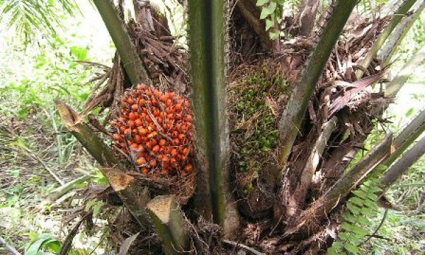 Growing Palm Oil Tree