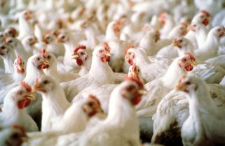 FG Packages Bailout for Nigeria's Poultry Farmers