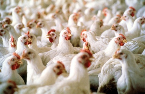 Bird Flu: Premium Poultry Farms bounces back with 180,000 birds