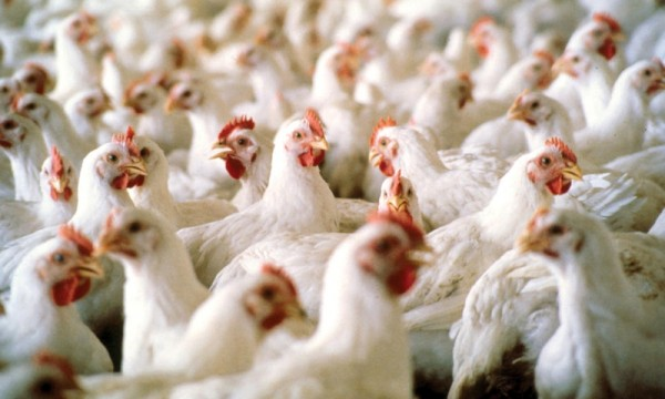 FG to Distribute 7,500 Metric Tons of Maize to Poultry Farmers