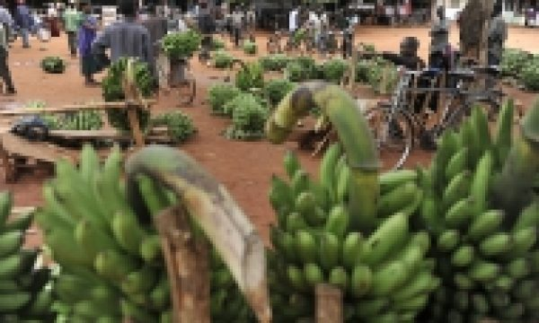 Global programme seeks to contain serious threat to the world's bananas