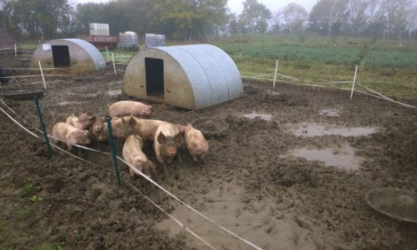 3 main factors to consider before rearing pigs at home