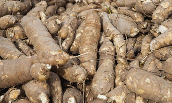 Making cassava safe for human, animal consumption