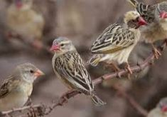 Aerial spray against Quela birds, other pests begins in Bauchi