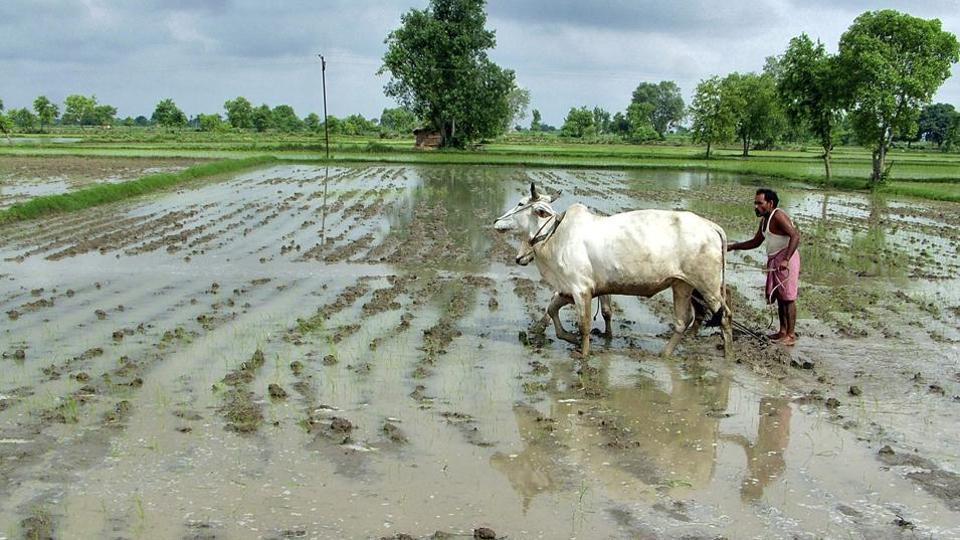 heavy-farmer-ploughs-rainfall-mathura