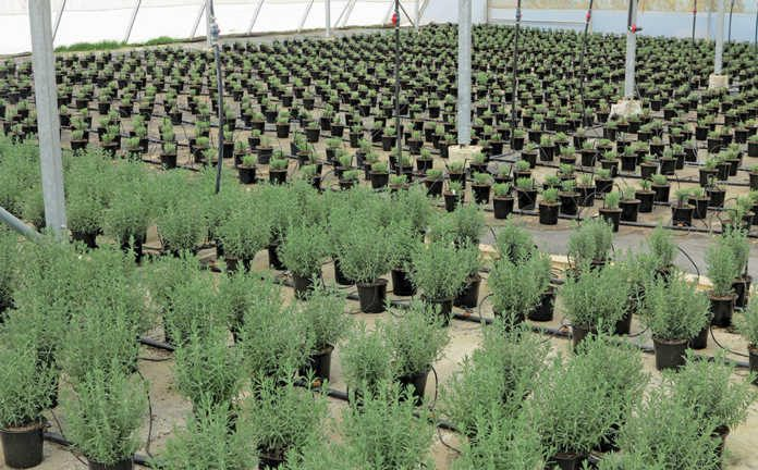 lavender-plants-for-Woolworths
