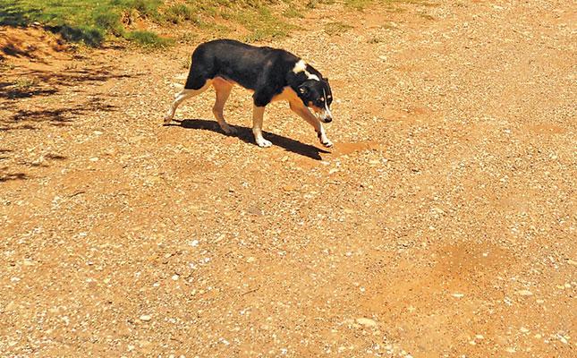 rabies-stray-dog